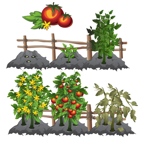 seedlings: Planting, growing and harvesting tomatoes