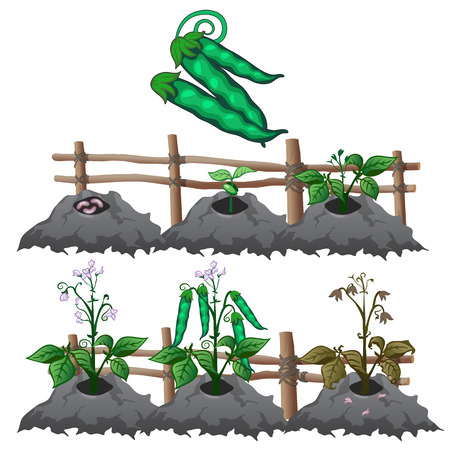 Planting, growing and harvesting peas Illustration