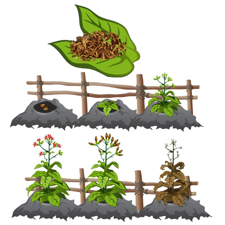 Planting, growing and harvesting tobacco Illustration