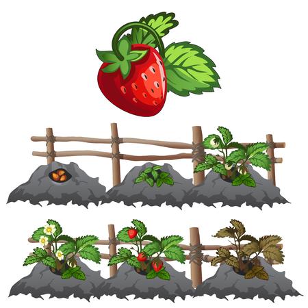 harvesting: Planting, growing and harvesting strawberries
