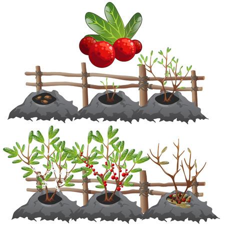 harvesting: Planting, growing and harvesting cranberries