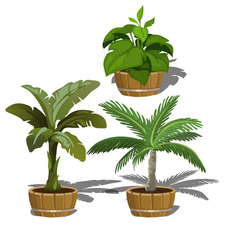 date palm: Three tropical plants in buckets for office and home. Vector set