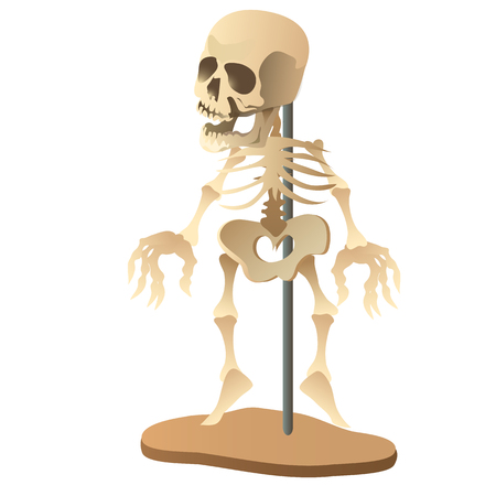 sternum: Human skeleton mannequin on white background. Vector illustration