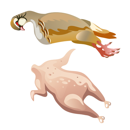 whole chicken: Whole raw turkey, chicken isolated, vector image for cooking Illustration