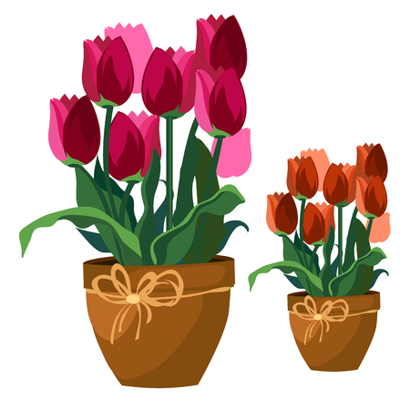 clay pot: Two bouquets of pink and red tulips in clay pot, vector flowers isolated