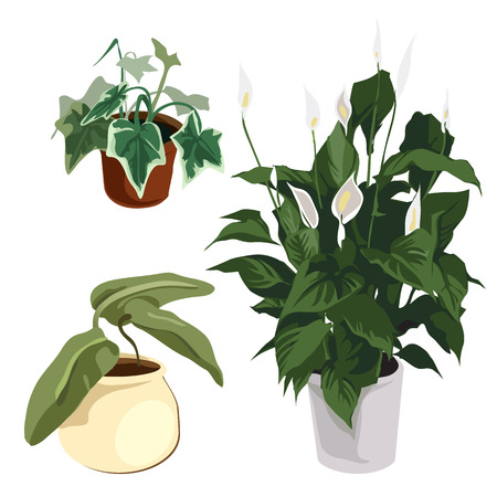 arum: Calla lilies and other ornamental plants in pot, vector flowers isolated