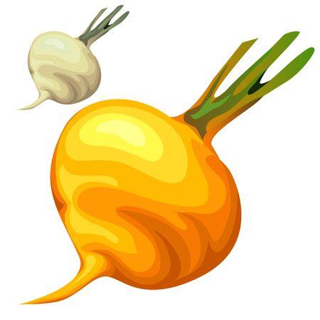 turnip: Yellow delicious sweet ripe turnip, vector vegetables