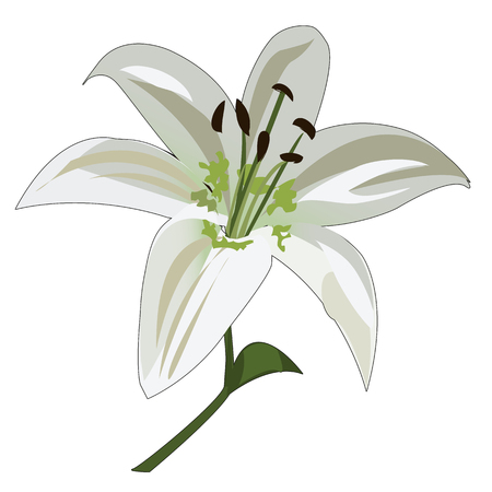 white lily: Flower white lily stalk and stamens, vector flowers