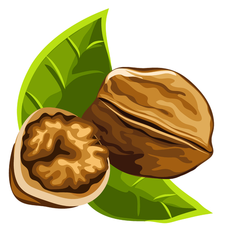 Solid brown strong delicious ripe walnut, vector isolated