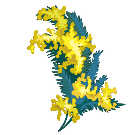 sprig: Sprig Mimosa on white background, vector flowers Illustration