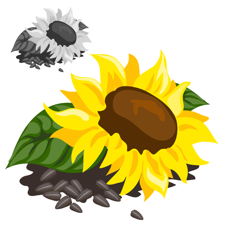 black seeds: Ripe yellow sunflower with black seeds, vector isolated Illustration