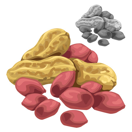 Cashew nuts in shell and cleared. Vector isolated. Food illustration
