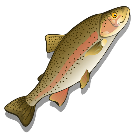 spawning: Trout closeup on a white background. Vector fish isolated