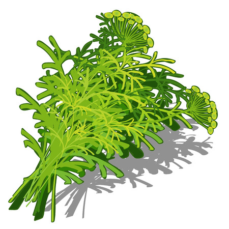 dill: Bunch of dill on white background, vector food concept
