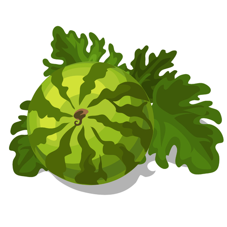wood crate: Big ripe juicy watermelon with leaves. Vector fruit isolated on a white background Illustration