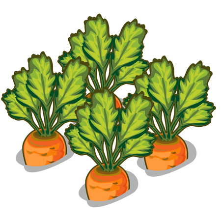cultivate: Cultivate tasty carrot. Vector vegetable isolated on a white background Illustration
