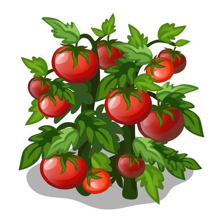 심기와 토마토의 재배. 벡터 야채 흰색 배경에 고립