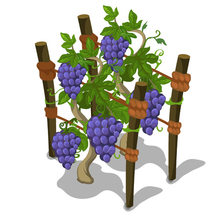 Planting and cultivation of grape. Vector icon tropical fruit on a white background Illustration