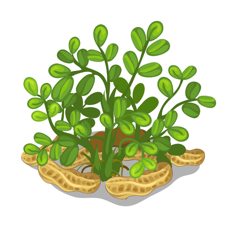 seeding: Planting and cultivation of cashew. Vector icon of nut and seeding on a white background