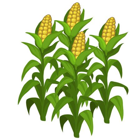 Planten en kweek van maïs. Vector groente geïsoleerd op een witte achtergrond