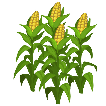 Planting and cultivation of corn. Vector vegetable isolated on a white background