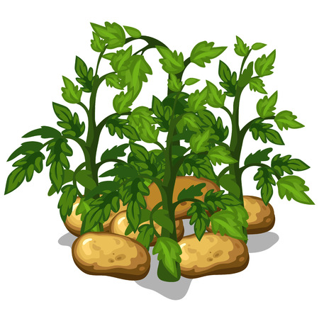 Planting and cultivation of potatoe. Vector vegetable isolated on a white background Illustration