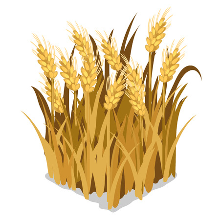 Planting and cultivation of wheat. Vector isolated on a white background Ilustração