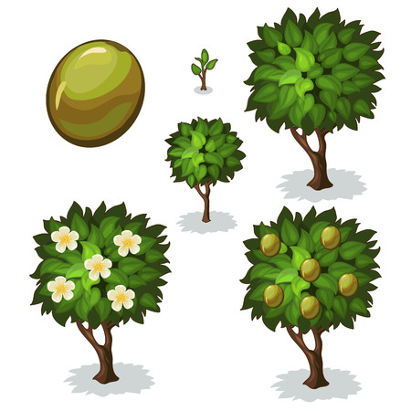 Planting and cultivation of olive. Vector illustration of olive tree on a white background Vettoriali