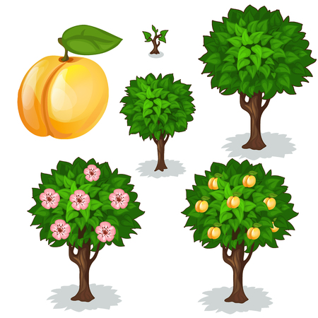 apricot tree: Planting and cultivation of apricot. Vector illustration of apricot tree on a white background