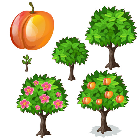 Planting and cultivation of apricot. Vector illustration of tree growth stages on a white background