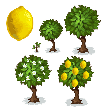 Planting and cultivation of lemon tree. Vector illustration of citrus tree growth stages on a white background