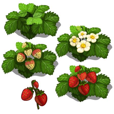 심기 및 재배 딸기. 흰색 배경에 베리 성장 단계의 벡터 일러스트 레이 션 스톡 콘텐츠 - 66436462