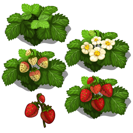 Planting and cultivation of strawberry. Vector illustration of berry growth stages on a white background