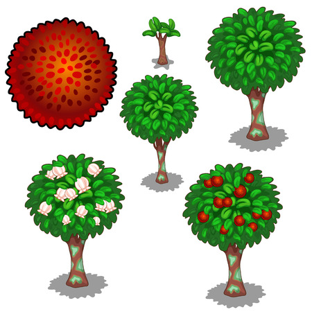 Planting and cultivation of red exotic rambutan. Vector illustration of pear tree on a white background Illustration