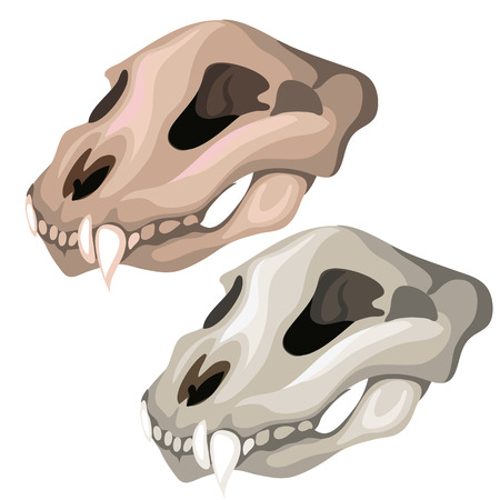 saber tooth: Ancient skull of saber-toothed tiger or other predatory animal. Vector illustration for your design needs on white background
