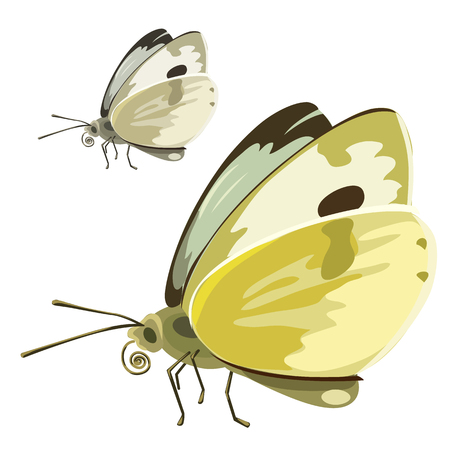 mol: Butterfly with yellow wings on a white background. Insect isolated. Vector illustration for your design needs