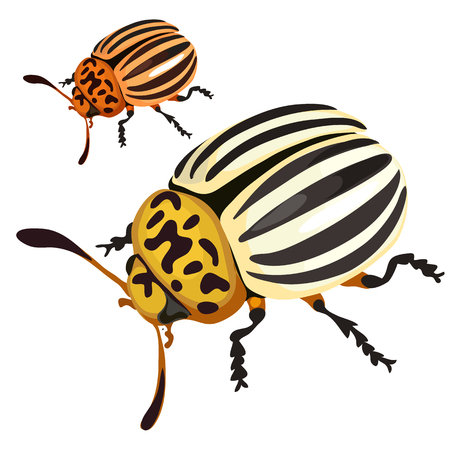 Colorado black-and-yellow beetle on white background. Vector illustration for your design needs