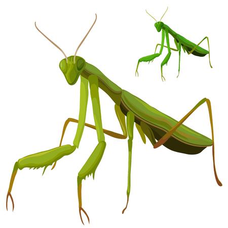 Green grasshopper closeup on white background Illustration