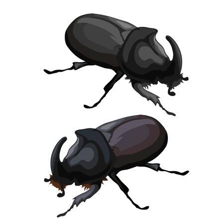 coleoptera: Black beetle rhinoceros on white background