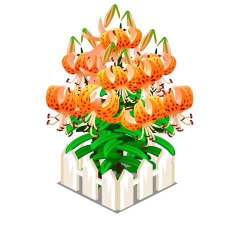 lilium: Blooming orange lilies in the middle of fence