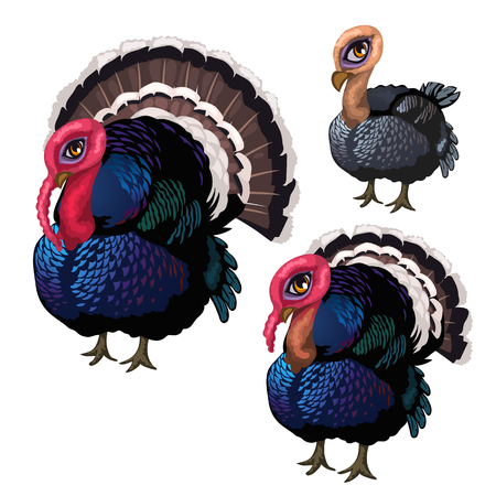 Group of three turkeys of different ages. Vector