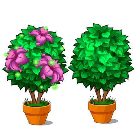 Two miniature trees in pots, on the one tree blossomed magical pink flower. Vector plant illustration isolated on white background Illustration