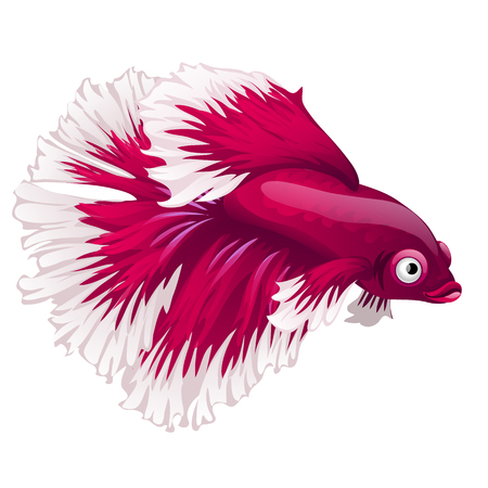 Cartoon pink betta fish, siamese fighting fish, betta splendens or Halfmoon betta isolated on white background. Vector illustration. Illustration