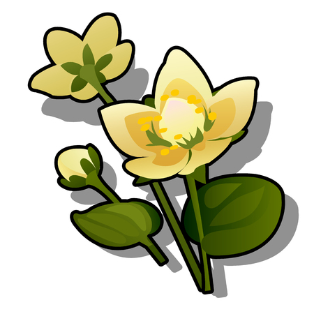 Yellow flowers of caltha or Caltha palustris isolated on white background. Vector cartoon close-up illustration
