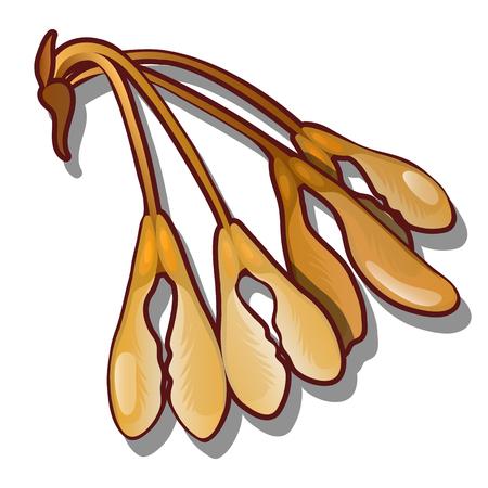 Ripe maple seeds isolated on white background. Vector cartoon close-up illustration Ilustração