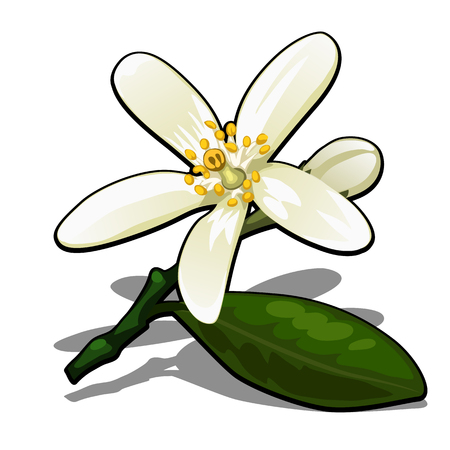Single flower of lemon tree isolated on a white background. Flowering tree branches in the orchard. Vector cartoon close-up illustration