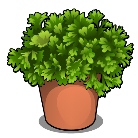 Lush bush of parsley in a pot. Herbs for cooking isolated on white background. Vector cartoon close-up illustration Illustration