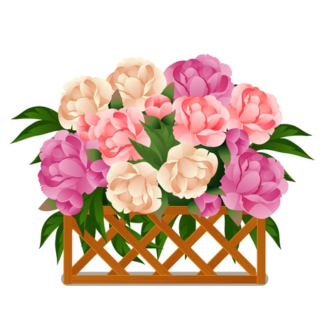 Flowering peonies behind a wooden lattice fence isolated on white background. Vector cartoon close-up illustration