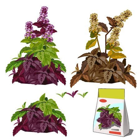 Set of stages of life of a agricultural plant basil isolated on white background. Paper packaging for storage of seeds. Vector cartoon close-up illustration