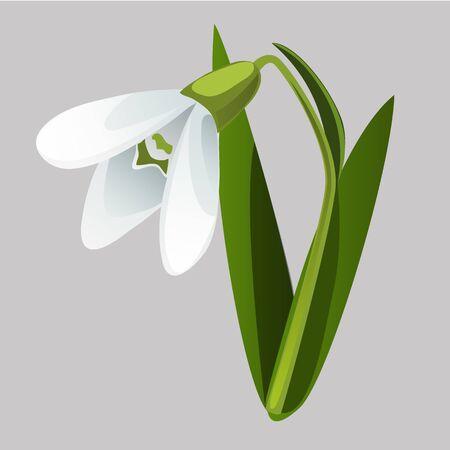 Snowdrop floreciente aislado sobre fondo gris. Ilustración de primer plano de dibujos animados de vector